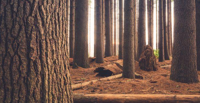 Morning glow at the pine tree forest. Sugar Pine Walk, Laurel Hill, NSW, Australia'.