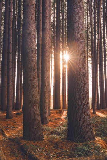First light breaking through the trees. 'Sugar Pine walk, Laurel Hill, NSW, Australia'.