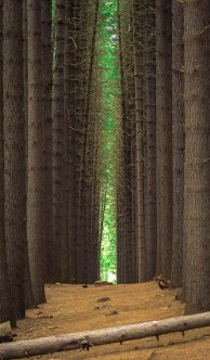 A walkway surrounded by trees. 'Sugar Pine Walk, Laurel Hill, NSW, Australia'.