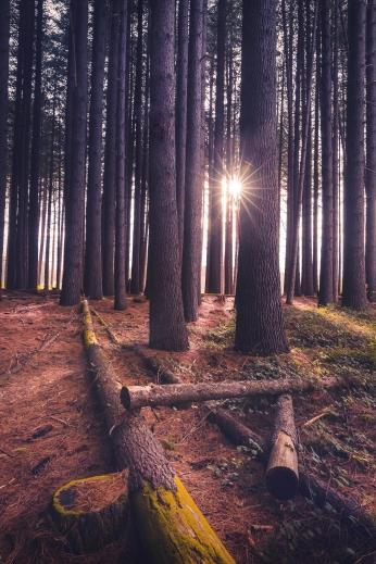Sugar Pine Sunrise